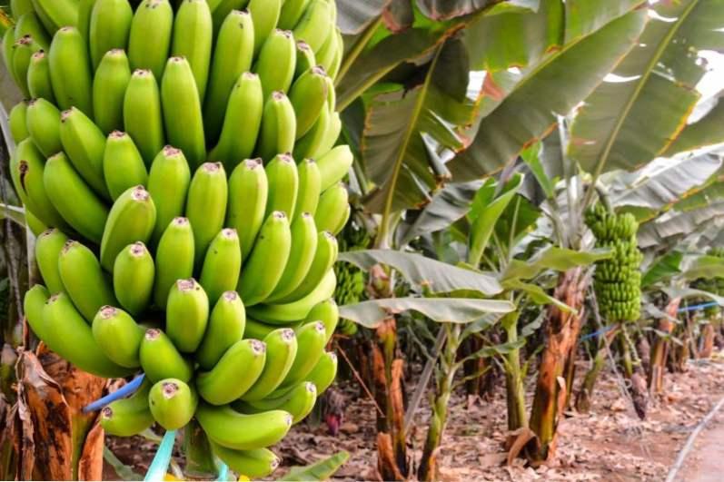 kak-i-gde-rastut-banani-v-prirode-na-kakom-dereve-i-v-kakih-stranah.jpg (66.04 Kb)